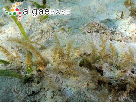 Stauroneis phoenicenteron f. brunii (M.Peragallo & Héribaud) M.Voigt