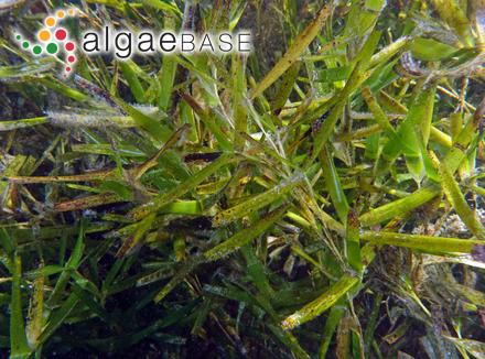Cyclotella caspia Grunow