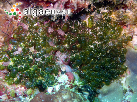Cyclotella stelligera (Cleve & Grunow) Van Heurck
