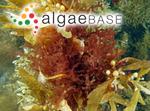 Polysiphonia australis (C.Agardh) J.Agardh