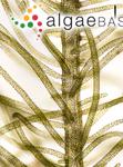 Solenia compressa (Linnaeus) C.Agardh