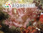 Halymenia pickeana (Dickie) J.Agardh