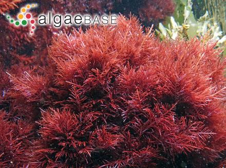 Bicosoeca petiolata (F.Stein) E.G.Pringsheim