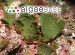 Rhipiliopsis peltata (J.Agardh) A.Gepp & E.Gepp