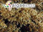 Sargassum podacanthum Sonder