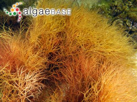 Craticula halophila f. robusta (Hustedt) Czarnecki