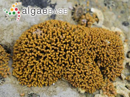 Cymatopleura elliptica f. apiculata Cleve-Euler