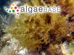 Ceramium filamentosum (Wulfen) C.Agardh