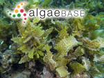 Sargassum aquifolium (Turner) C.Agardh