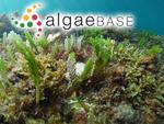 Caulerpa cactoides (Turner) C.Agardh