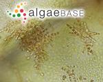 Acrochaetium microscopicum (Nägeli ex Kützing) Nägeli