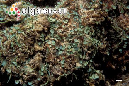 Bostrychia tangatensis Post