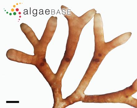 Vertebrata glomerulata (C.Agardh) Kuntze