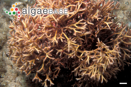 Polysiphonia inflata G.Martens