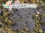 Ceramium clavulatum C.Agardh