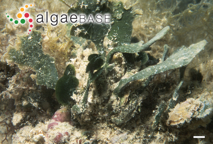 Dilsea pygmaea (Setchell) Setchell