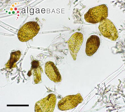 Feldmannia filifera (Børgesen) Pham-Hoàng Hô