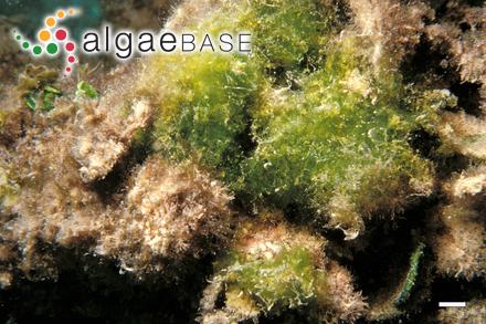 Feldmannia zeylanica (Børgesen) P.C.Silva