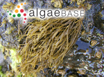 Chnoospora minima (Hering) Papenfuss
