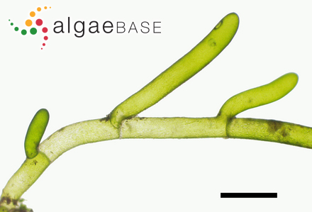 Pylaiella fulvescens Bornet