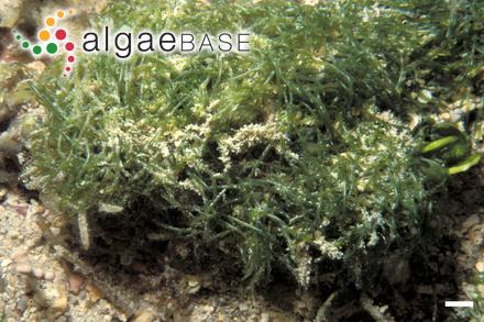 Myriactis areschougii (P.Crouan & H.Crouan) Batters