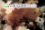 Predaea weldii Kraft & I.A.Abbott