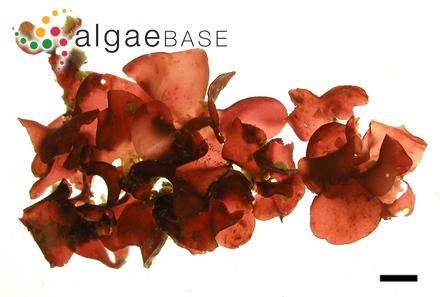 Cladophora macallana Harvey