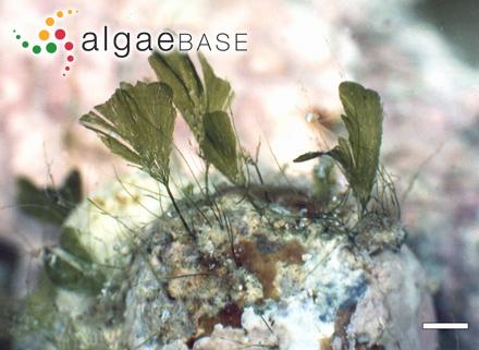 Cladophora magdalenae Harvey