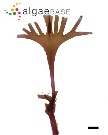 Gelidiopsis scoparia (Montagne & Millardet) De Toni