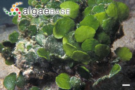 Punctaria orbiculata C.C.Jao
