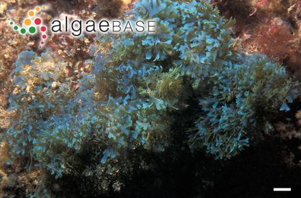 Sphacelaria norrisii Hollenberg