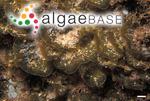 Distromium flabellatum Womersley