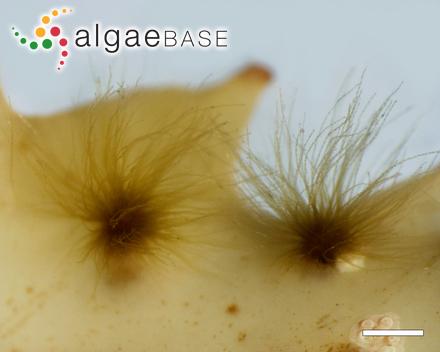 Porphyra maculosa E.Conway