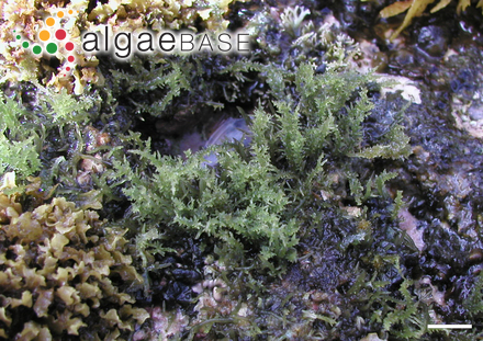 Codiolum cylindricum Foslie