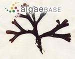 Fucus platycarpus f. spiralis (Linnaeus) Thuret