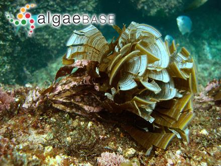 Gloeocapsa aeruginosa Kützing
