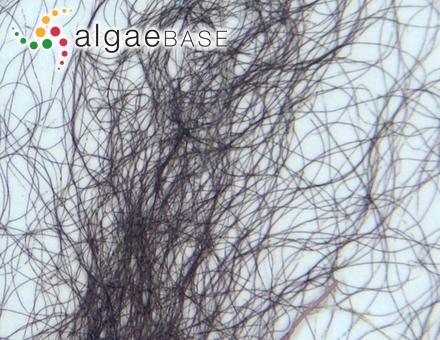 Polysiphonia rubrorhiza Hollenberg