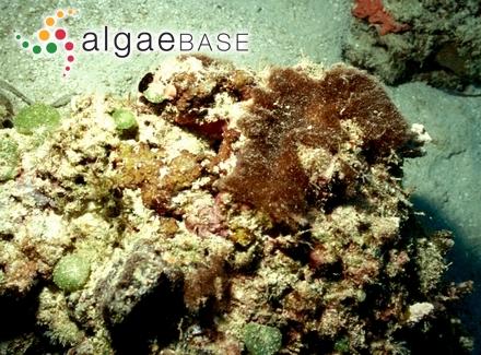 Polysiphonia aquamara I.A.Abbott
