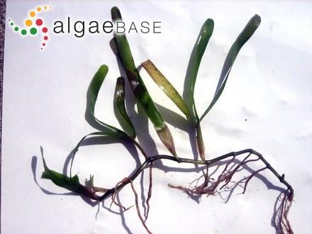 Caulerpa racemosa f. macrophysa (Sonder ex Kützing) Weber Bosse