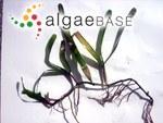 Cymodocea serrulata (R.Brown) Ascherson & Magnus