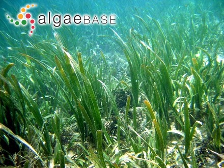 Corallina millegrana Lamarck