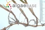Halodule uninervis (Forsskål) Ascherson