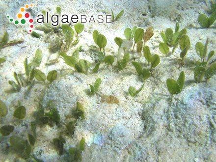 Posidonia angustifolia Cambridge & Kuo