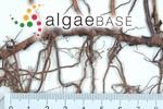 Thalassodendron ciliatum (Forsskål) Hartog