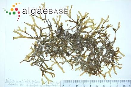 Caulerpa sedoides f. mixta Svedelius