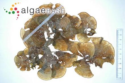 Sargassum pachycarpum (Kützing) Endlichter