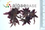 Amansia glomerata C.Agardh