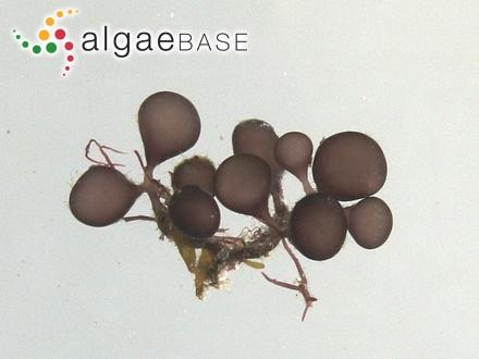 Lithothamnion varians f. verrucosum Foslie
