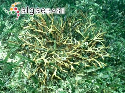 Lithothamnion glaciale f. subfastigiatum Foslie