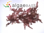 Dasyphila plumarioides Yendo